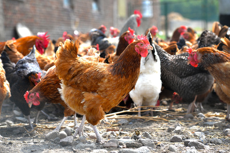 aves de corral: Pollos en la tradicional granja av�cola Granja al aire libre. Foto de archivo