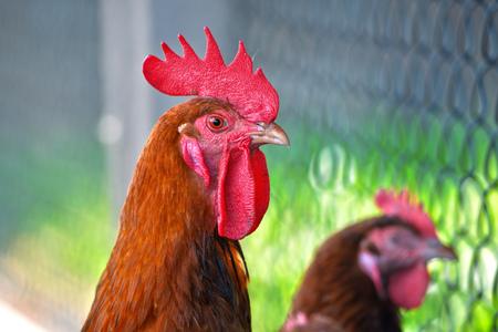 aves de corral: Gallo y pollo en granjas de aves de corral