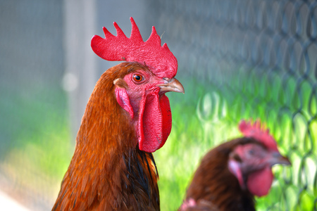 poultry: Rooster and Chicken on free range poultry farms Stock Photo