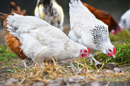 aves de corral: Pollos en la tradicional granja avícola Granja al aire libre. Foto de archivo