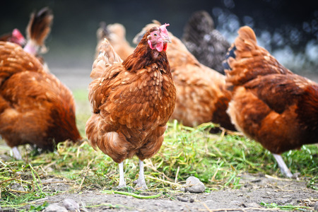 poultry: Chickens on traditional free range poultry farm.