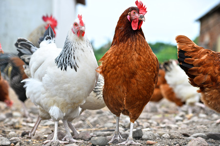 animal feed: Chickens on traditional free range poultry farm.