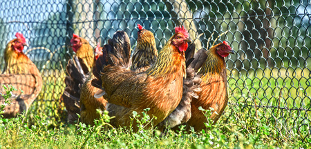 livestock: Chickens on traditional free range poultry farm.
