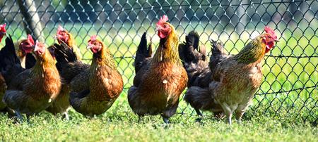 granja avicola: Pollos en la tradicional granja avícola Granja al aire libre. Foto de archivo