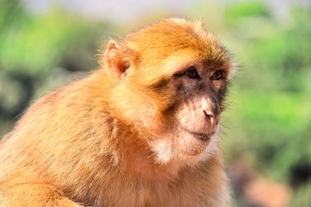 barbary: Barbary macaque (Macaca sylvanus), at the Ouzoud falls in Morocco