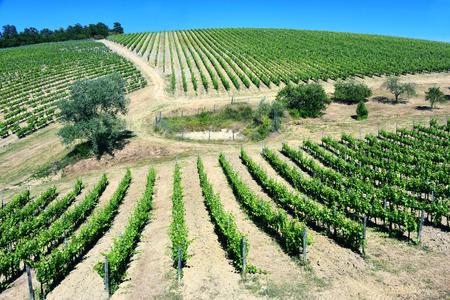 ブドウ園の近く、トスカーナ サン ・ ジミニャーノ市イタリア。 写真素材
