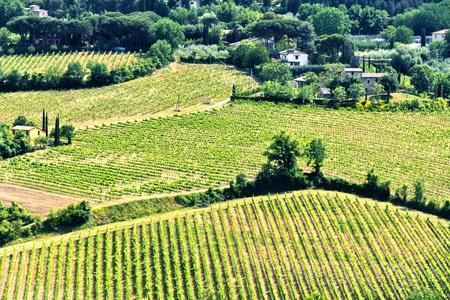 Vineyards near the city of Montepulciano, Tuscany, Italy.