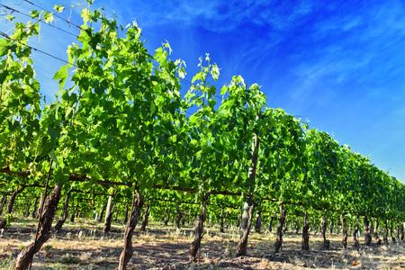 Vineyard near the city of Montalcino, Tuscany, Italy. Stock Photo