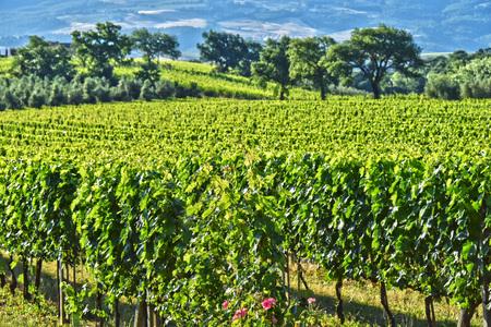 val: Vineyard near the city of Montalcino, Tuscany, Italy. Stock Photo