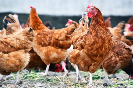 Chickens on traditional free range poultry farm. Banco de Imagens - 85445185