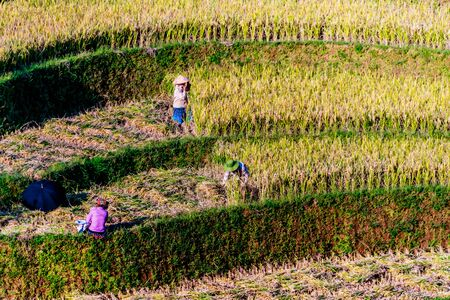 Self-sufficient labor-intensive farming in Mu Cang Chai District, Yen Bai Province, North Vietnam.Traditional sustainable agriculture.