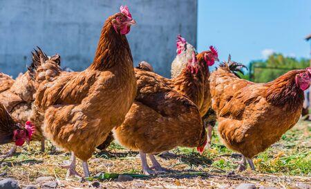 Polli in allevamento di pollame ruspante tradizionale.