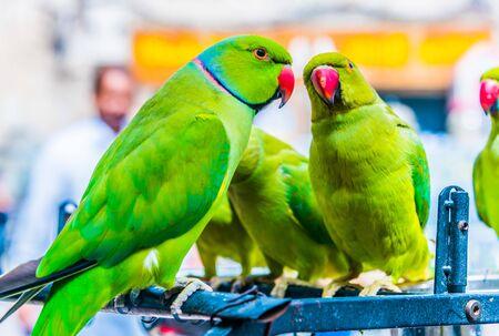 Parrots on Souq Waqif Bird Market in Doha, Qatar