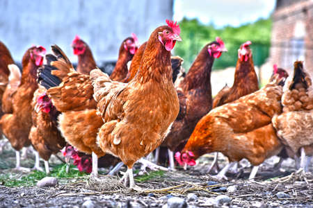 Chickens on traditional free range poultry farm. Stock Photo