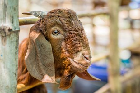 canny: goat
