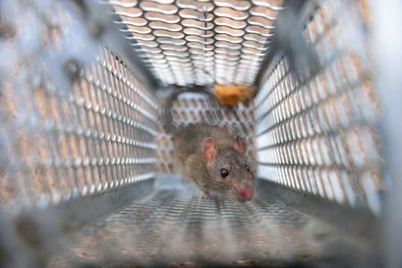 Rat in a trap.