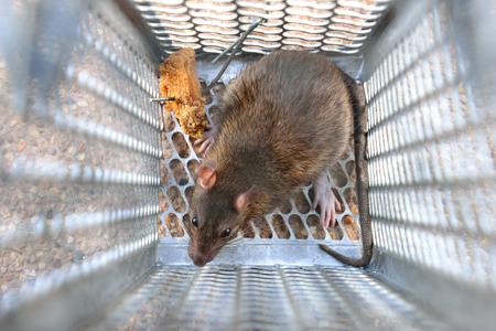exterminate: Rat in a trap.