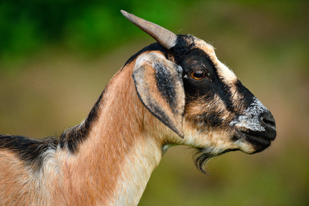 Goats eat in the pastures Stock Photo