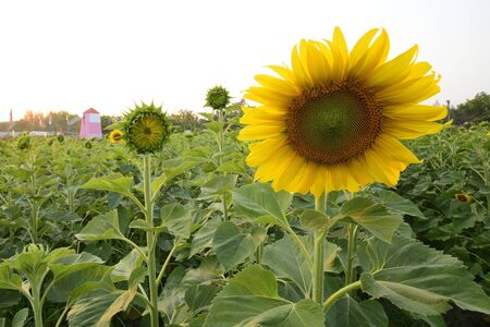 Sunflower Farm At sunset