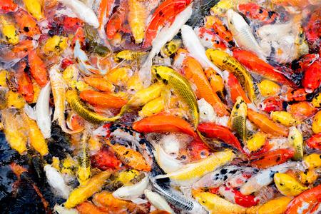 koi: colorful koi