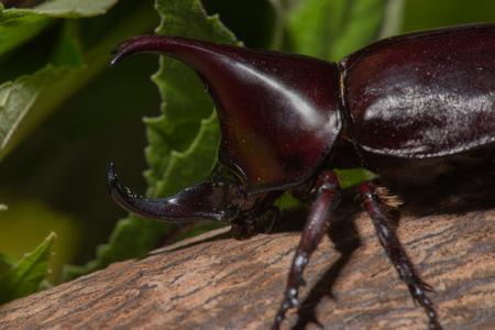 mandibles: Rhinoceros beetle, Rhino beetle, Hercules beetle, Unicorn beetle, Horn beetle Stock Photo