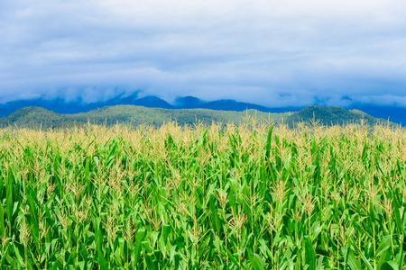 sotto la pioggia: Campi di mais in montagna sotto la nuvola di pioggia.