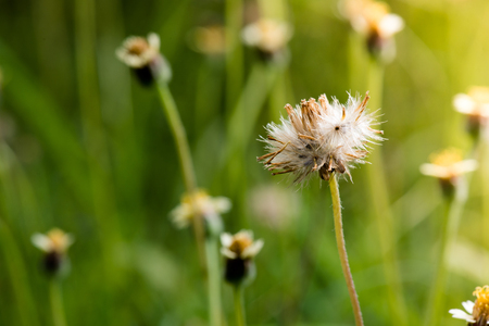 Dried Coat buttons, Mexican daisy or Tridax daisy grass flower in morning sunlight