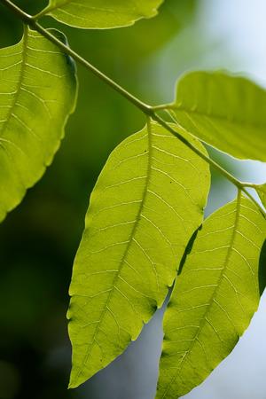neem: Neem leaves,Azadirachta indica,medicinal plant