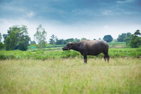 pushcart: Buffalo grazing on green grass field.