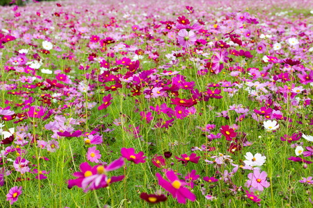 Cosmos flowers in many colors and broad field outdoor sun light Imagens