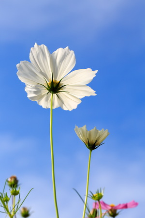 Cosmos flowers in White Plains Outdoor trimmed with blue sky and sun in the morning. Foto de archivo