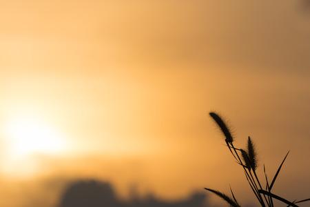 orange sunset: grass flower in the evening sky