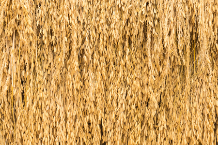 dry  spike rice as background