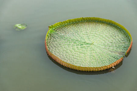 Victoria lotus leaf in the swamp