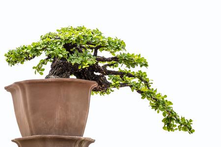 bonsai tree: A small bonsai tree in a ceramic pot.