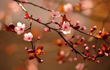 Beautiful flowering Japanese cherry - Sakura  Background with flowers on a spring day  Stock Photo