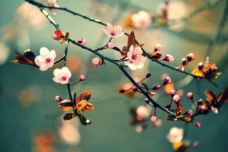 arbol de cerezo: Hermosa floración de cerezo japonés - Sakura. Fondo con las flores en un día de primavera.