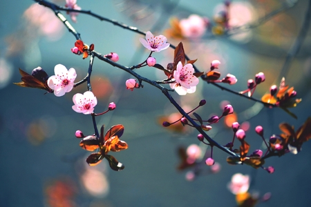 march: Beautiful flowering Japanese cherry - Sakura. Background with flowers on a spring day.