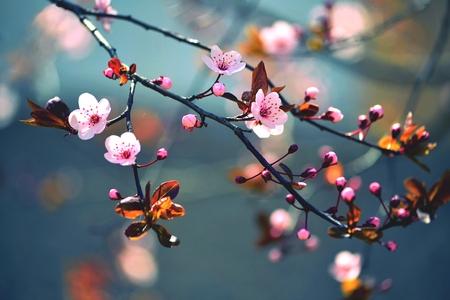 primavera: Hermosa floraci�n de cerezo japon�s - Sakura. Fondo con las flores en un d�a de primavera.