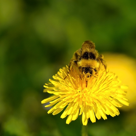 bumblebee on a flower photo