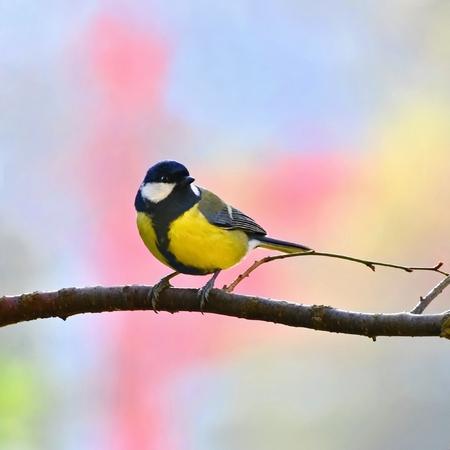 tit bird: Great tit bird Stock Photo