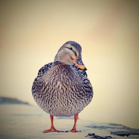mallard: Mallard duck Stock Photo