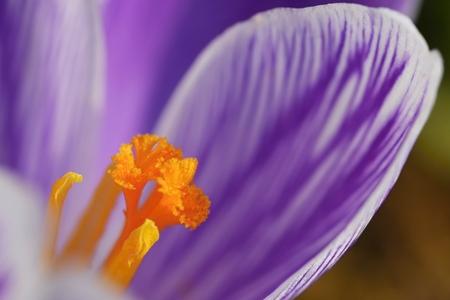 photgraphy: Macro shot of Crocus flower