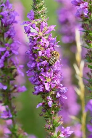 blooming purple: Blooming purple flower