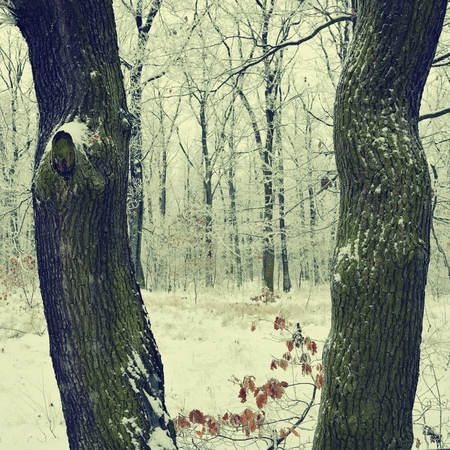 freeze dried: Trees in winter