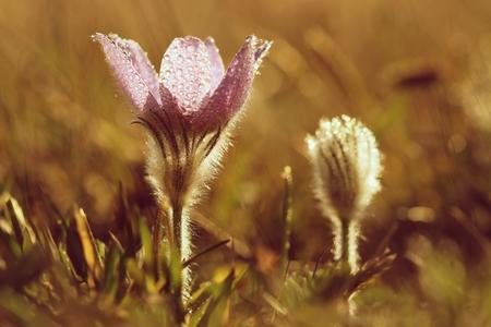 blooming purple: Blooming purple pasque-flowers