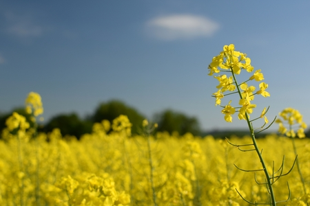 rappi: Field of rapeseed Stock Photo