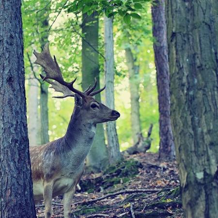 huge antlers: Fallow deer