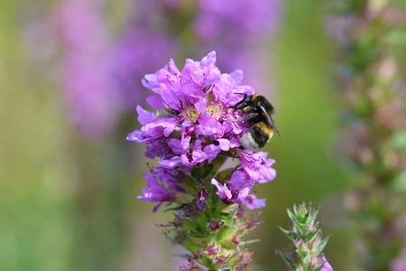 bee on flower: Bee on blooming purple flower