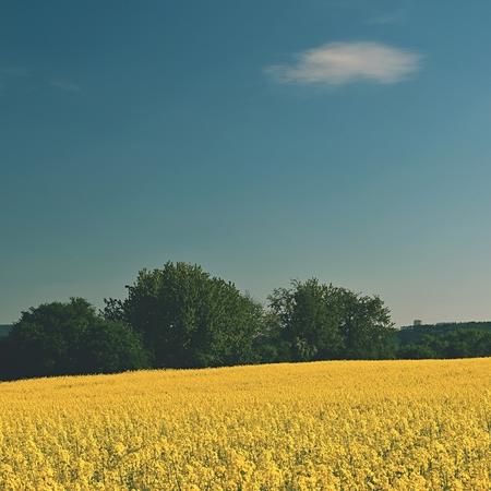rapaseed: Field of rapeseed Stock Photo